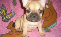BEAUTIFUL LITTER OF FRENCH BULLDOG PUPPIES BORN JULY, 11, 2011. THEY ARE REDAY FOR THEIR FOREVER HOMES NOW. THEY HAVE BEEN VET CHECKED, FIRST VACCINE, AND THEY COME WITH A 1 YR HEALTH WARRANTY. THESE BABIES ARE SHORT BACKED, COBBY, AND LOW TO THE GROUND.