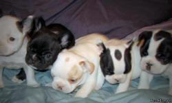 These AKC French Bulldogs are a beautifully marked and confirmationally correct litter! Both parents are on site. The litter size was 7; with 5 females and 2 males; whelped naturally. They all have wonderful personalities and are very playful. I am