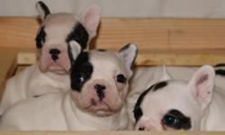 AKC French Bulldogs puppies.females/males. many colors .. Vet checked .. 12 month healthy guarantee .. Ready to go now.Blue carriers. and full reg $300 more.call 951 785 7860