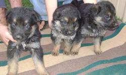 AKC German Shepherd Puppies for sale, black/tan and black/red, 7 to chose from, first shots and wormed, health guaranteed, 200.00, phone 662-767-9892 or 662-397-4763