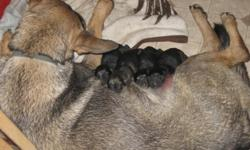 3 males, 1 female, born 4/8/2011, vet checked, first shots and dewormed, with papers and health certificates.
