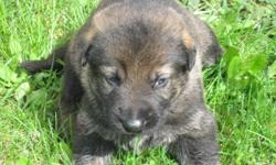 AKC German Shepherd puppy, male, born 4/8/2011, vet checked, first shots and dewormed, with papers and health certificate