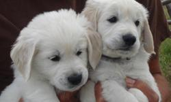 We have 1 beautiful litter of Home Raised english cream golden retriever puppies. Both parents have excellent bloodlines with OFA certified hips and calm, sweet dispositions. Just 2 males are still available from this litter of 8. Both are very white and