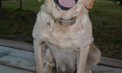 Just turned 7 yrs. old, yellow/white AKC registered female. Excellent bloodlines trained to alert for various medical conditions. Sweet, gentle disposition / loving pet. Good with children and all types of pets. All shots up to date. Dave, Dallas, Ga. @