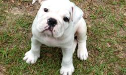 AKC male English Bulldog puppy. He is 8 weeks old. He is white with brindle markings. He loves children and other pets.$1,000 call or text 601-606-8533