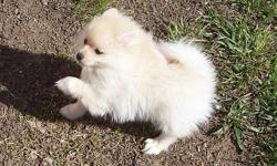Sire:red sable, Dam:Cream/white , Pups will be ready to go in May,2011.