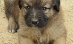 AKC Registered Anatolian Shepherd puppies Born 4-11-14 males and females, shots and worming started, parents on site and working with chickens , ducks, and goats.sale or we consider trades. $600-$750