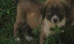 AKC Registered Anatolian Shepherd puppies 5-15-14 males , females,  parents on sited working with goats,puppies are working with goats, ducks,we also consider trades Arkansas