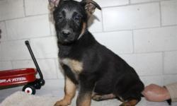 Please callus to meet this awesome puppy. (Closed Sundays) This is a very intelligent and playful ACA Registered German Shepherd puppy. This is the perfect puppy for you or someone you love!! Vaccinations started. De-wormed also. Vet