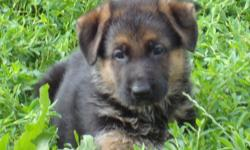 Fall litter coming up. Family/companion/pet available. Please call or email for more information.