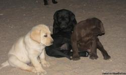 AKC Reg Labrador Retriever Puppies Now accepting deposits. Whelped 2/26/11 ready for new homes late April. 7 available. Yellow, black males and females. Both parents on property from a hunting home. Pups include health guarantee, 1st shots, dewclaws