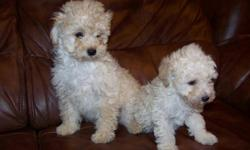AKC Toy and Miniature Poodles, , They have been vet checked, shots, dews, tail. They are very playful, great around childred, family raised and loved. One toy apricot and cream male, Miniature one black girl and one black male. Will Meet . 218-340-6275
