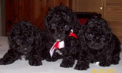 Precious Black AKC Registered Toy Poodles for sale...mom weighs about 9 pounds and dad weighs about 5 pounds...have 1 Female and 2 Males... They have been wormed once and will have their first set of shots when ready for new home on June 1, 2011!!!