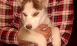 MALE HUSKY PUP WITH BLUE EYES, BROWN AND WHITE. VET CHECKED. CALL GLENN AT -- FOR DETAILS