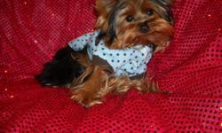 WE HAVE A GORGOUS TINY YORKIE MALE, NONSHED SILKY COAT, HYPO ALLERGENIC, ALL SHOTS & WORMINGS COMPLETED, CRATE TRAINED AND SLEEPS THRU NITE, WONDERFULL LAP BABY, WELL SOCIALIZED DAILY, 6 MOS OLD, PUPPY COMES WITH A GOODY HANDBAG, BED,TOYS, T SHIRT, PADS,
