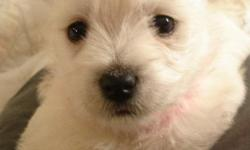 AKC Westie Puppies, Parents on premises, dewclaws removed, shots and wormed, raised with children, socially active in community. References available, 26 years breeding experience, written guarentee. Visits Welcome, family pets.