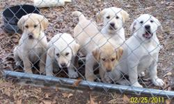 Male and Female labrador retriever pups are now available. Pups range in color from white to light yellow. AKC registered. These pups were bred to be great family pets or a great dog in the blind. They are 10 weeks old, they have been wormed and they have