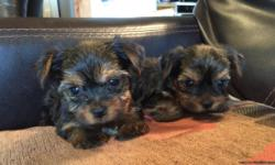 Come see our gorgeous little yorkie boys, charting four lbs grown!  Should be black/gold or blue/gold.   AKC registered, grandfather is a champion.  At least 62 champions in six generations that we know of.  Located in northeastern