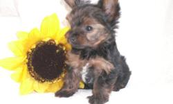 Beautiful AKC Yorkshire Terrier Puppies available. Two beautiful small males available. Champion pedigree, 8 weeks old, 1 year health gaurantee, baby doll faces, vet checked, UTD on shots, wormed, socialized and raised in our home. $400.00. Contact me at