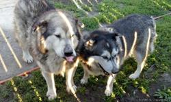 Male - Bear, Alaskan Malamute 7 years old this Christmas. Great dog, good with kids and other dogs. He is a very big dog. He weights about 125lbs. Female - Light, is the sister. She is more aggessive of a dog and pickie on who she goes to. She is good