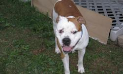 2 yr old american bulldog. House trained, fixed, all shots. This is a high energy breed. You must be experienced with large breed dogs to own this breed. He is a very loving dog who loves attention and loves to play. He has not shown aggression to other