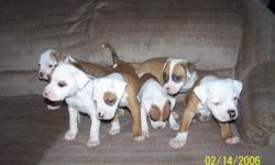 I have 1 male pups and 3 females. Mom is American Bulldog, and dad is American Bulldog and Pit. The date on the pictures is wrong, they were taken 12/10/10. puppies have been dewormed and will have first shots. If you have any questions feel free to call