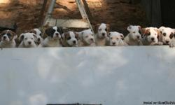 Healthy Purebred American Bulldog Puppies. THESE ARE NOT PIT-BULLS!!! 100% Legal anywhere in the US. Born August 17th, 2010, litter of 13 (9 females, 4 males). Both parents of litter are very calm, smart, laid-back dogs. Both parents are NKC registered