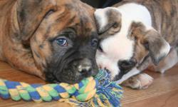 Thirteen American Bulldog Puppies for sale. They were born on 12/29/10 are registered with the ABRA, have dew claws removed, have been vet checked, and are up-to-date on shots. We offer a one year health guarantee, all puppy papers, and more. There are 3