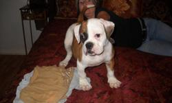 Arf(animal research foundation) registered american bulldog puppy for sale.100% johnson bloodlines male pup 12 weeks on 11/21/2012.Beautiful red fawn and white with huge bone structure.Mom is an elrod 01 and sugar tuffie 201 daughter and dad is a