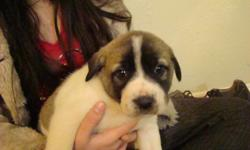 THESE ARE REGISTERED ANATOLIAN SHEPHERD PUPPIES THEY ARE 8 WEEKS OF AGE BEING RAISED AROUND GOATS AND CHILDREN VERY GOOD GUARDIANS WE HAVE 8 AVAILABLE 3 MALES AND 5 FEMALES THESE ARE PINTO COLORED PUPPIES MORE RARE THAN THE MORE COMMON FAWN WITH BLACK