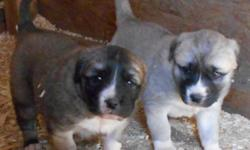 PUPPIES, beautiful markings, AKC registered parents come from livestock protection background. Very large for the breed. Very aggressive against predators or strangers but do not bite people. Very smart dogs that can think for