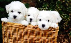 White River Bichons Champion Bloodlines! AKC Registered! They will have the perfect level of cuteness and personality for an awesome CHRISTMAS present! Our pups are well socialized, as we have kids and friends that can't hold them enough! The adult dogs