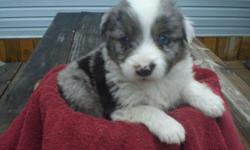 Aussie Pups to enhance your heart, home and life. Puppies are real beauties with lots of flash. Raised Underfoot with Children and Other Animals. All Colors available with lots of Blue eyes and Males and Females. Puppies come with a puppy kit, registry