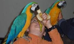 Babies Macaw Parrots Ready For New Homes.Please contact my family for more details on this our lovely pair of ours.