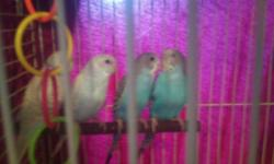 i have 4 baby parakeets for sale thay are 3 months old and very cute