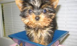 JAXON is an adorable yet perfect teacup yorkie boy. He has a stunning beautiful baby doll face, Short legs and tiny body. He is so tiny he fits in the palm of your hand. He is currently 10 weeks and is ready to go along with his shots, health cert, papers