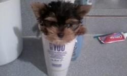 SAMMIE is a tiny teacup yorkie boy. He is 10 weeks and weighs 12 ounces. He has a double coat of hair, Short legs and short body. Parents are both under 3 pounds. Vaccines, health cert, papers and one year guarantee. 561-201-5723 (Miami Florida)