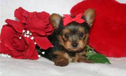 Beautiful little yorkie Babydoll face, TINY! Registered, first shots/wormed, vet certificate of health. Shipping