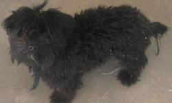 Beautiful, playful, black Yorkiepoo. He is one year old and has all his shots. He is not neutered. $250.00.