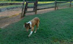 male 6 month old collie beautiful dog great farm dog gets along with all animals is housetrained listens good health forces sale cannot keep up with him he loves people although is a great watch dog please call mike for more infor -- not nutered yet and