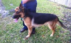 male black and red german shepherd 1 yr and 6 mths old.with AKC papers and pedigree papers.all shots up to date,and included on price is also a dog house and cage. contact Edwin @ (305)299-4398 or E-Mail me.