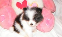 Small Pomeranian puppies available. 2 females. Born 12/27/10. CKC reg. 1 year Health Guarantee. ' Current on vaccines. Raised in my home, playful and so...cute! These pups will be ready for pickup on Feb 25 th. Visit my website to see all available pups>