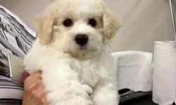 Beautiful Bichons from show lines. True to conformation, perfect bites, Non-shed, well socialized. email to sixbichons@juno.com Ready now to loving homes.