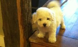 Bichon Frise Puppies.....8 weeks old. Have first set of shots & wormed. The puppies are full blooded bichons. Parents are AKC Registered and are on the property. Any Questions please call or text Emmilee @ 870-414-3065