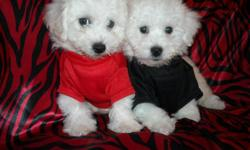 WE HAVE A GORGOUS BICHON PUPS, NONSHED COAT, HYPO ALLERGENIC, SHOTS, WORMED, POTTY TRAINED ON PEE PADS, CRATE TRAINED, WONDERFULL LAP DOGS, WELL SOCIALIZED DAILY WITH FAMILY AND KIDS, READY TO GO TO NEW HOMES, 9 WKS OLD, PUPPY COMES WITH A GOODY HANDBAG,