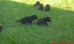 AKC black lab pups. Excellent field trial and hunt test lines. first shots and dew claws. Hiips and eyes guaranteed. Vet checked. these pups will make great hunters or just family pets. Pedigree upon request