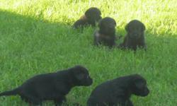 AKC black labrador pups ready july 16th Excellent field trial and hunt test lines first shots and dew claws Hips and eyes guaranteed. Vet checked. These dogs will make great hunters or a family pet. Pedigree upon request