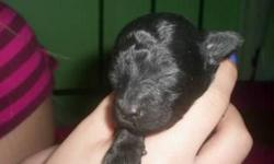 I have a tiny solid black male teacup poodle by the name of Nikko. He was born on Jan.20,2011 and will be ready for her new home on March,19.2011, a small NON-REFUNDABLE DEPOSIT will hold her.Mom weighs 5 lbs and dad weighs 3lbs 2oz.both are here for