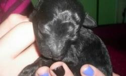 I have a solid black toy poodle by the name of Bojangles! He was born on Jan.20,2011 and will be ready for his new home on March 19,2011,A small NON-REFUNDABLE DEPOSIT will hold him.Mom weighs 5 lbs and dad weighs 3lbs 2oz and both are here for viewing.He