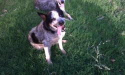 I have a one year old blue heeler (no papers) male that I would like to find a home for. He is a good dog but is a little to active for me. He is good with kids. He would do good in a fenched in yard. He is the one in back.